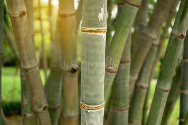 Hastes verdes frescas do bambu sob a luz solar fotos de stock