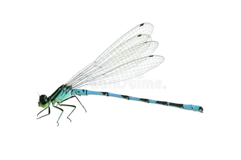 Hastulatum de Coenagrion de libellule (mâle) images stock