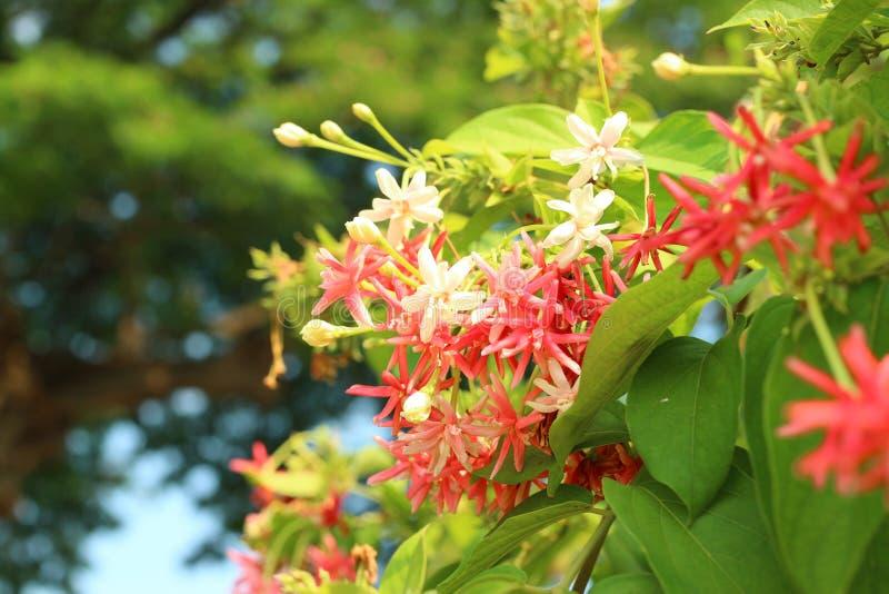 Hat schöner rosa Naturhintergrund der Rangun-Blumenkriechpflanze einen milden Duft lizenzfreie stockbilder