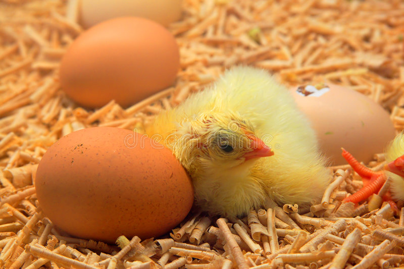 Hatched chick. Chick hatched from egg royalty free stock photography