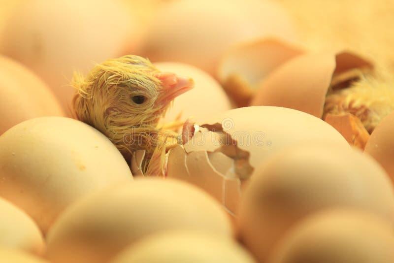 Hatching chicken stock image