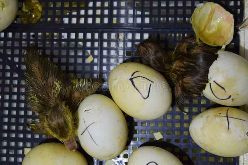 Hatching of eggs ducklings of a musky duck in an incubator. royalty free stock photos