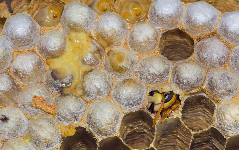 Hatching European Hornet royalty free stock photography