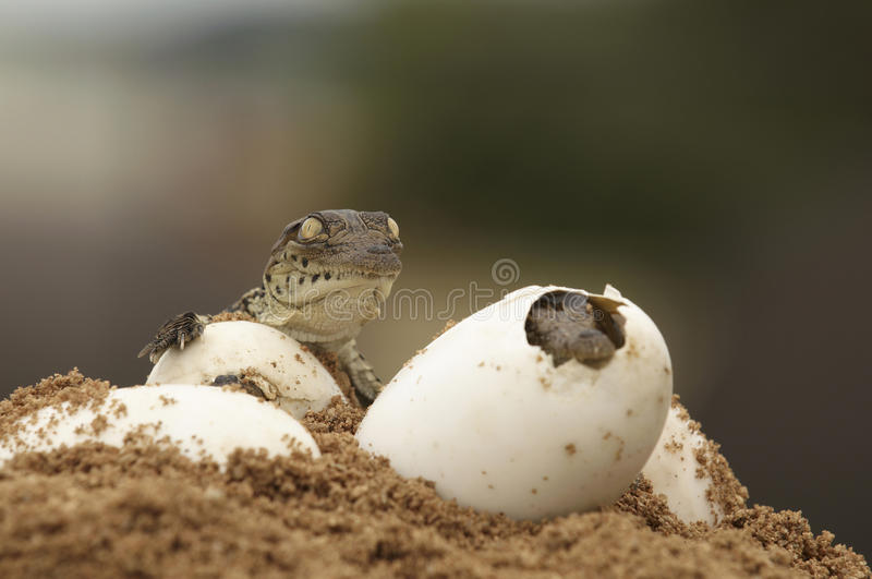 Hatching a Nile Crocodile. A newly hatched crocodile and one during hatching stock image