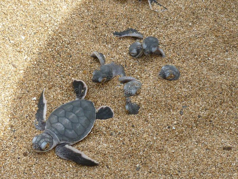 Hatchling baby green turtle chelonia mydas on a beach stock photography