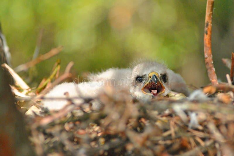Hatchling the common kestrel Falco tinnunculus, European kestrel, Eurasian kestrel, Old World kestrel bird of prey. Species, falcon family Falconidae with open stock photo