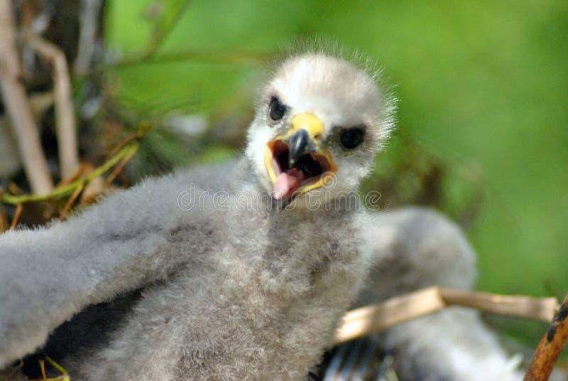 Hatchling the common kestrel Falco tinnunculus, European kestrel, Eurasian kestrel, Old World kestrel bird of prey. Species, falcon family Falconidae with open royalty free stock images