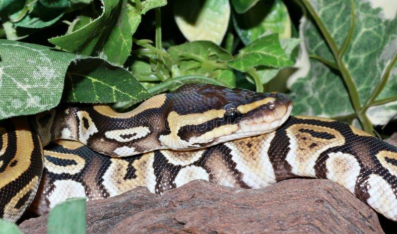 Download Hatchling De Phantom Royal Python Dans Le Feuillage Photo stock - Image du fantôme, reptile: 45372164