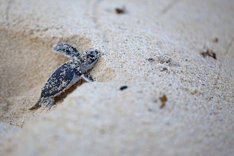 Hatchling della tartaruga di mare verde immagine stock libera da diritti
