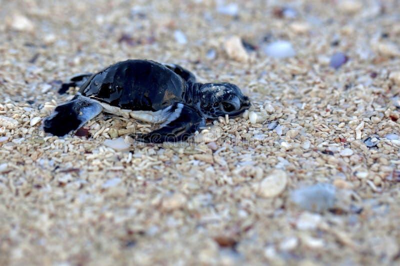 Hatchling della tartaruga di mare verde fotografia stock libera da diritti