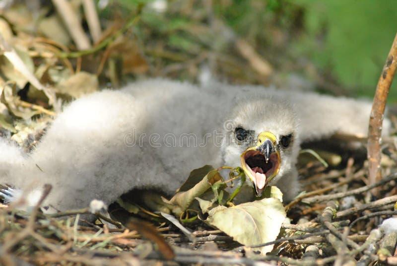 Hatchling el tinnunculus común de Falco del cernícalo, cernícalo europeo, cernícalo eurasiático, pájaro del cernícalo del Viejo M fotografía de archivo libre de regalías
