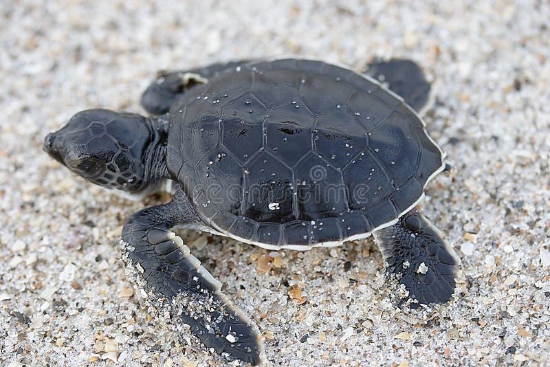 Hatchling Sea Turtle. Hatchling Green Sea Turtle Cocoa Beach Florida stock photo