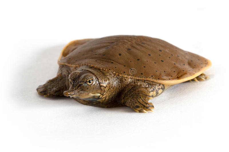 Hatchling Spiny Softshell Turtle - Front Left. This Spiny Softshell Turtle (Apalone spinifera) hatched in 2015 in Rock Island County, Illinois. Photographed stock photo