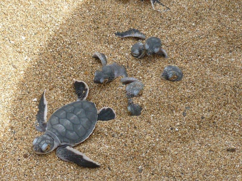 Hatchlingen behandla som ett barn mydas för chelonia för gräsplansköldpadda på en strand arkivbild