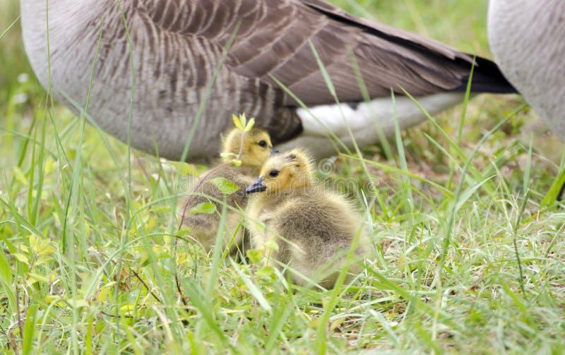 Hatchlings гусыни Канады младенца, Georgia, США стоковое фото rf
