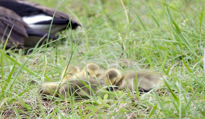 Hatchlings гусыни Канады newborn спать в куче, Georgia, США стоковые фотографии rf