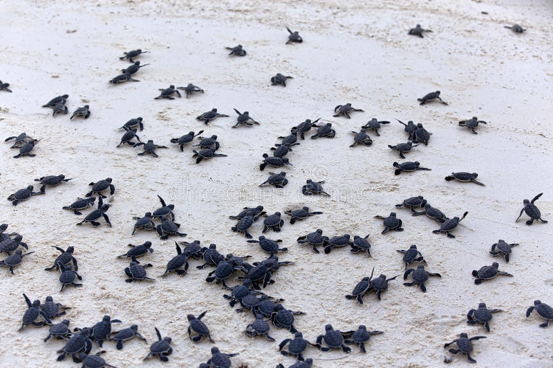 Hatchlings черепахи стоковые фото