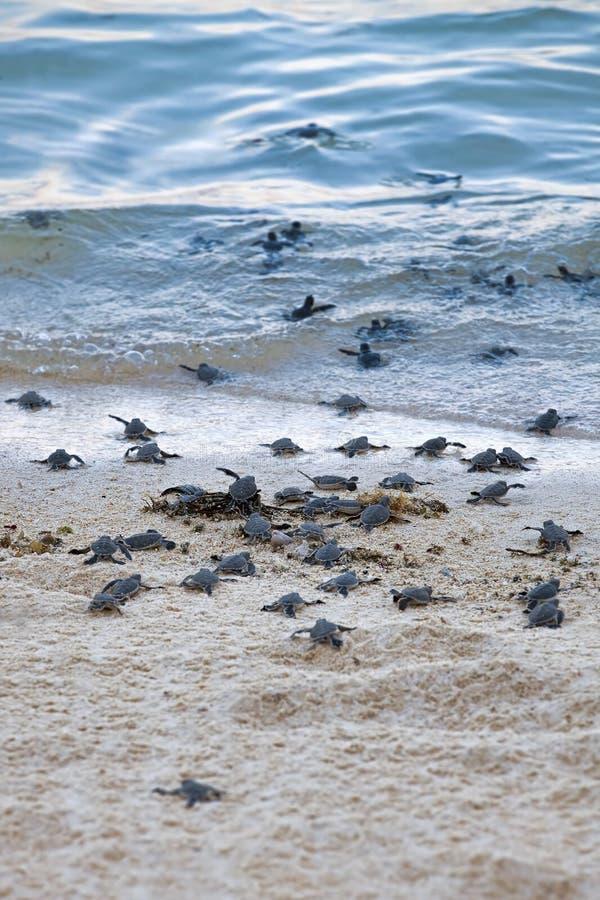 Hatchlings черепахи стоковое изображение