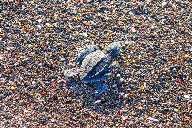 Hatchlings de la tortuga de mar verde de Ridley en Playa Ostional, Costa Rica imagenes de archivo