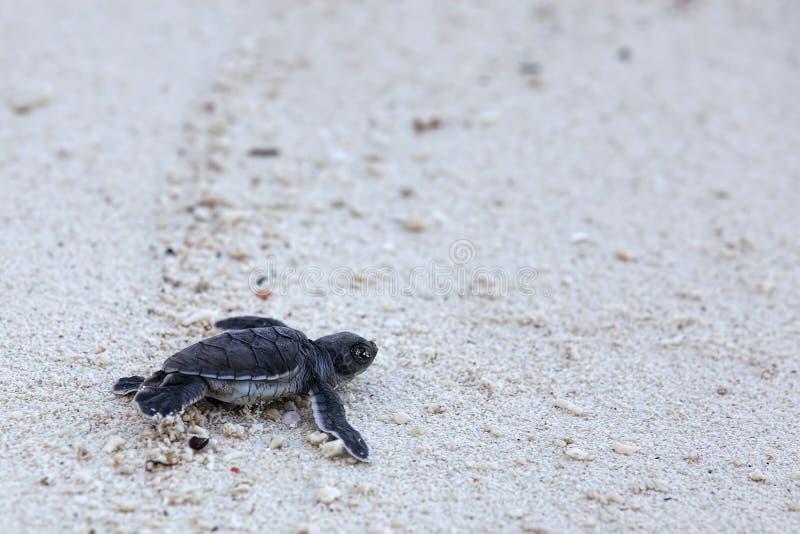 Hatchlings de la tortuga verde fotos de archivo