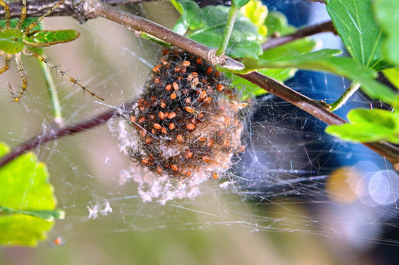 Hatchlings del ragno fotografia stock