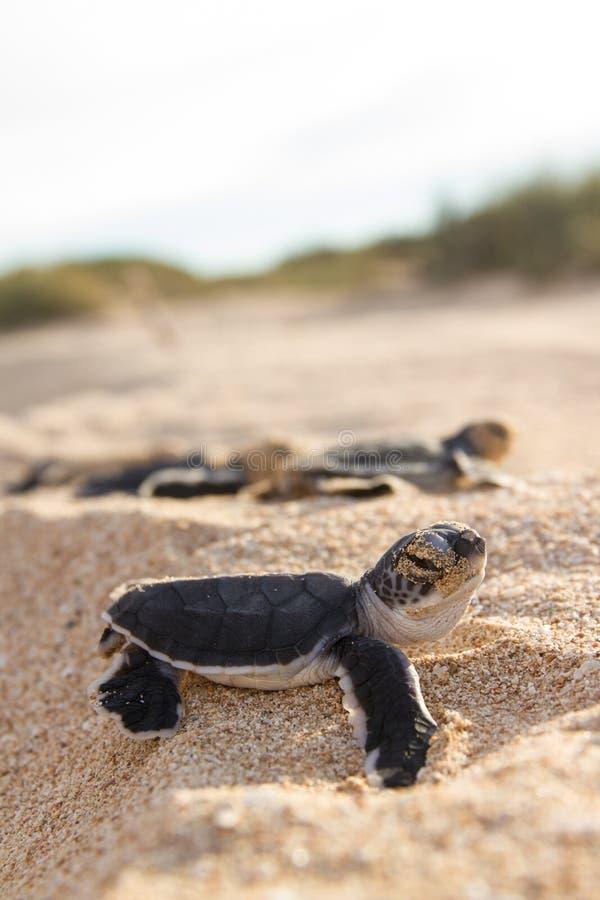 Hatchlings för grön sköldpadda royaltyfri bild