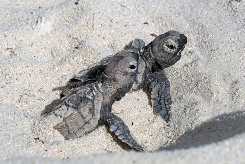 Hatchlings na praia Bonaire foto de stock