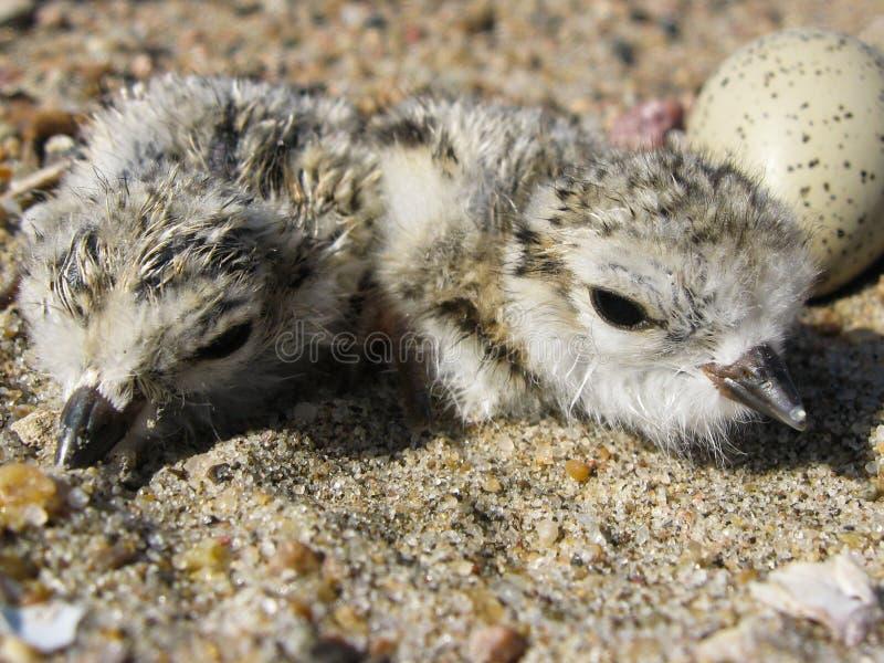 hatchlings som leda i rör ploveren arkivfoton