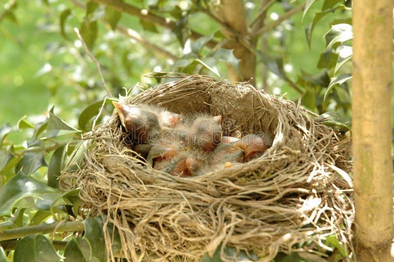Hatchlingschätzchenvögel im Nest lizenzfreie stockbilder