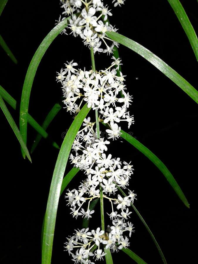 Hathawariya. Hatha wariya srilankan wild flower stock image