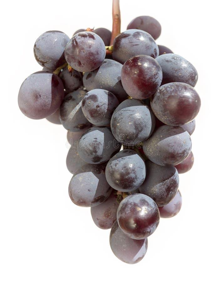 Haufen frisch geernteter schwarzer Trauben stockbild