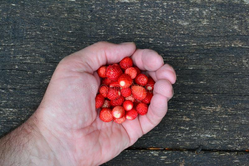 Haufen von frischen Walderdbeeren in einer Hand lizenzfreie stockfotografie