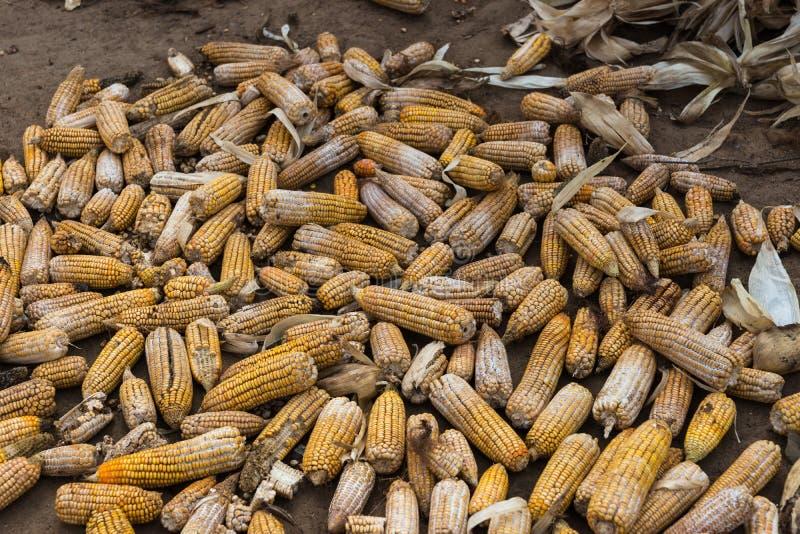 Haufen von schädigenden und faulen Maiskolben, Belathur Indien lizenzfreies stockfoto