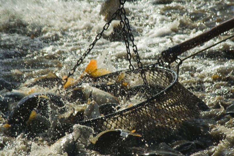 Haul Fishs Royalty Free Stock Photo