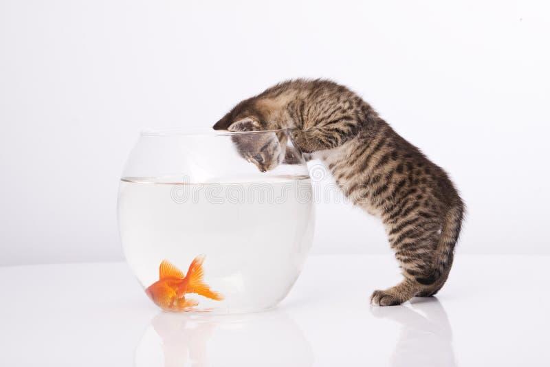 Hauptkatze und ein Goldfisch lizenzfreies stockfoto