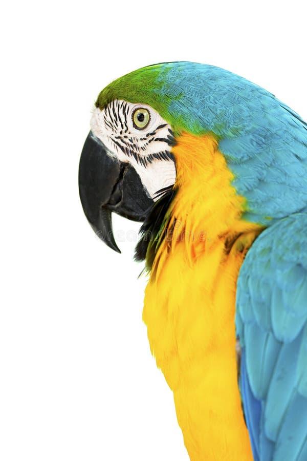 Hauptnahaufnahme der bunten Papageien geschossen auf Weiß stockfotos