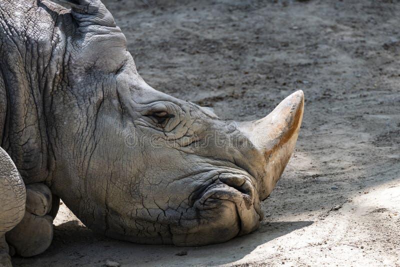 Hauptporträt des traurigen weißen Nashorns stockfoto