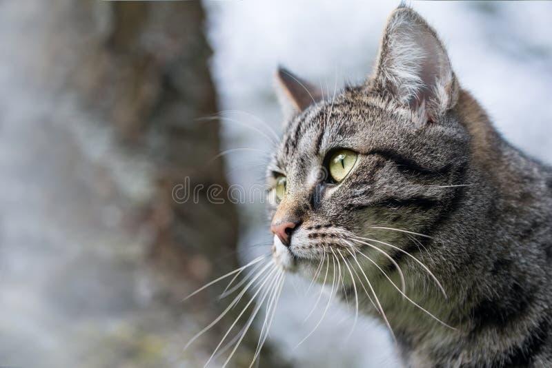 Hauptporträt einer Katze der getigerten Katze stockfotografie