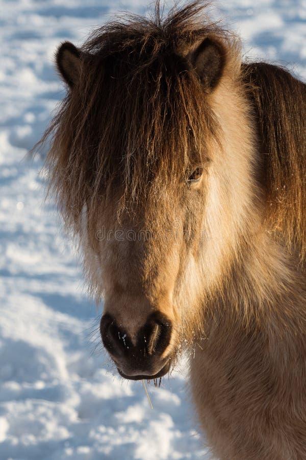 Hauptporträt eines hellbraunen und schwarzen isländischen Pferds im Winter lizenzfreies stockfoto