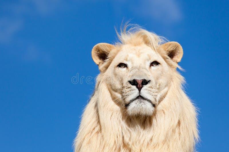 Hauptportrait des majestätischen weißen Löwes auf blauem Himmel stockbild