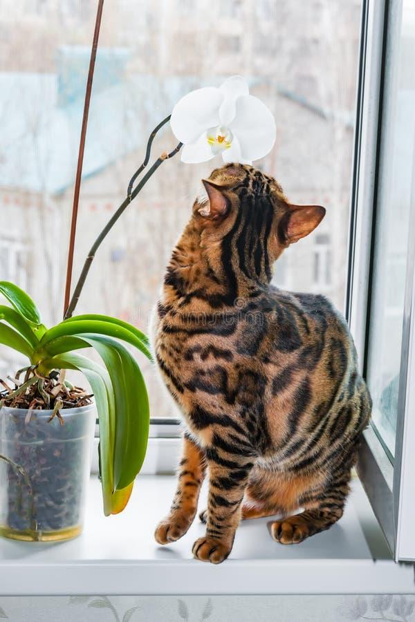 Hauptrot mit Bengal-Katze der schwarzen Flecke, die auf einer Plastikfenster- und Atemzüge Orchideenblume sitzt, lizenzfreie stockbilder
