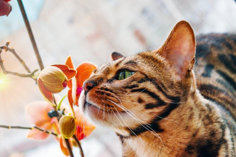 Hauptrot mit Bengal-Katze der schwarzen Flecke, die auf einer Plastikfenster- und Atemzüge Orchideenblume sitzt, stockbilder