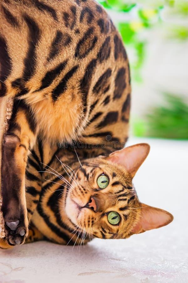 Hauptrot mit Bengal-Katzenzucht der schwarzen Flecke, selektiver Fokus, lizenzfreie stockfotos