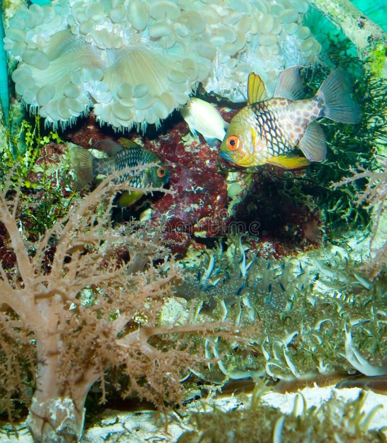 Hauptsächliche Fische stockfotos