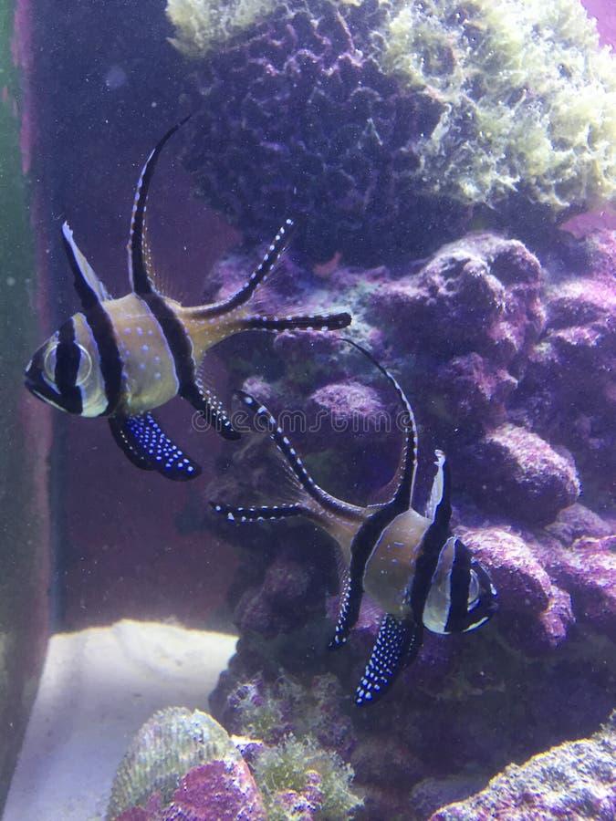 Hauptsächliche Fischpaare lizenzfreie stockbilder