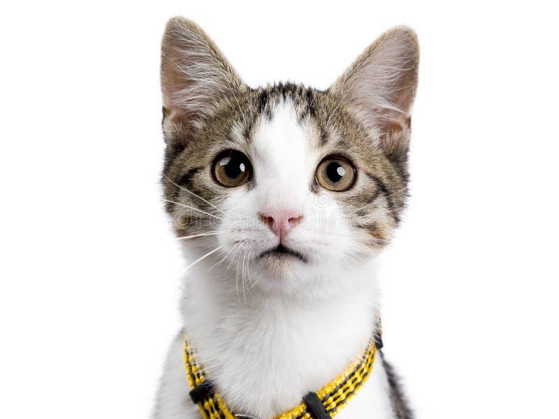 Hauptschuß des Europäisch Kurzhaar-Kätzchenporträts, das oben auf dem weißen Hintergrund trägt gelbe harnas sitzt stockfoto
