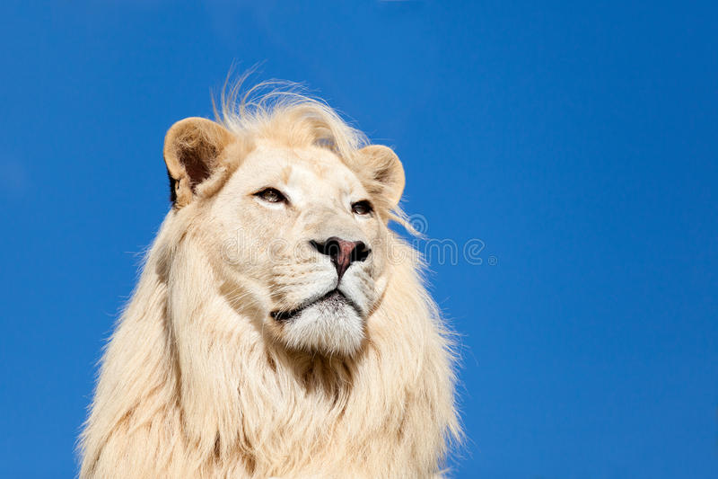 Hauptschuß Portait des majestätischer weißer Löwe-blauen Himmels lizenzfreies stockbild