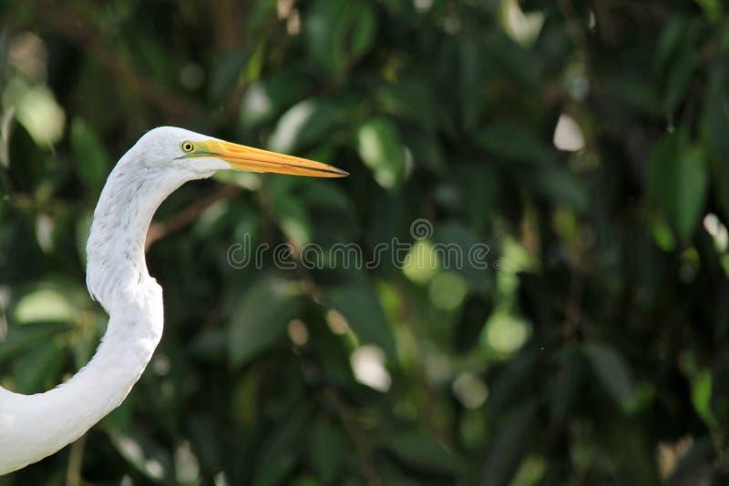 Hauptschuß weißen Florida-Reihers stockbilder