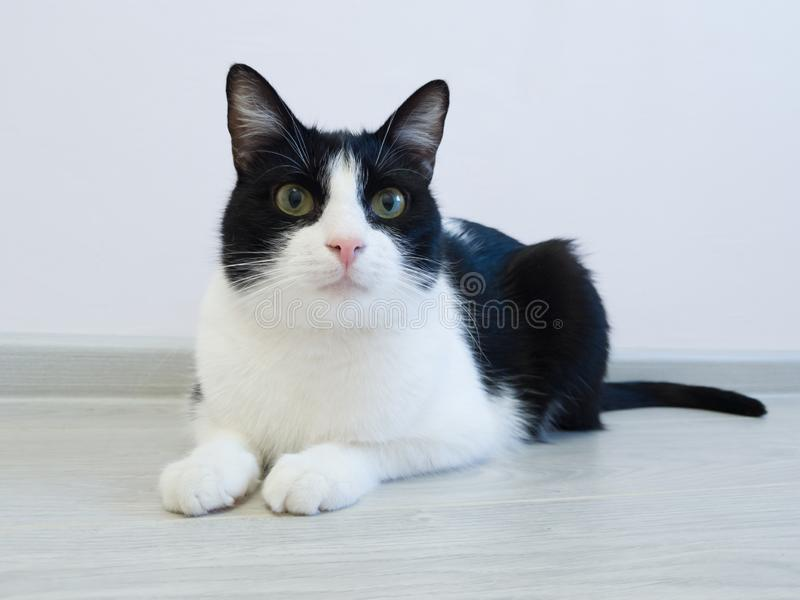 Hauptschwarzweiss-Katze, die weg auf dem Boden in der Wohnung und den Blicken mit Neugier liegt stockfotos