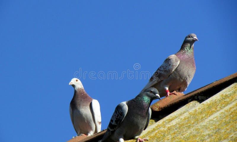 Hauptsporttauben stehen auf dem Dach nach dem Flug still lizenzfreie stockfotografie